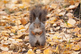Photo of gray squirrel — Foto Stock