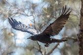 Flying crow — Stock Photo