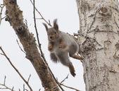 リスのジャンプ — ストック写真