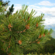 Branch of cedar in siberia — Stock Photo #7807810