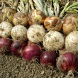 Harvested onions — Stock Photo