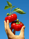 Red peppers in hand — Stock Photo