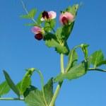 Beautiful pea plant — Stock Photo