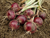 Red onions — Stock fotografie