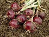 红洋葱 — 图库照片