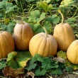 Pumpkins harvest - Stock Photo