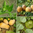 Pumpkins set — Stockfoto