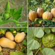 Stockfoto: Pumpkins set