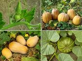 Pumpkins set — Stock Photo
