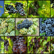 Grapes collage - Stock Photo