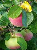 Ripening apples — Stock Photo