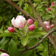 Spring apple tree — Stock Photo