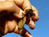 Mole cricket in hand — Stock Photo