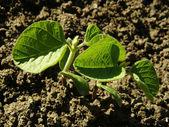 Soy seedlings — Stock Photo