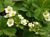草莓花 — 图库照片