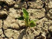 Bean seedling — Stock Photo