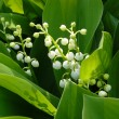 Lily of the valley — Stock Photo #27805617