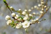 Kirschpflaume blüten — Stockfoto