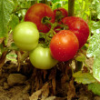 Home grown tomatoes — Stock Photo #37928263