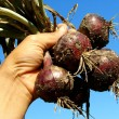 Stock Photo: Red onions bunch