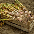 Garlic harvest — Stock Photo