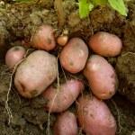Potato plant with tubers — Stock Photo #40254293