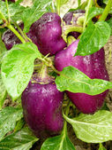 Purple peppers — Stock Photo