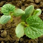 Cucumber seedlings — Stock Photo #41036211