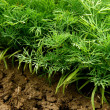 Dill plants — Stock Photo #42109029