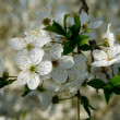 Cherry-plum blossoms — Stock Photo
