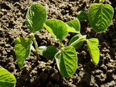 Small soy plants — Stock Photo