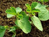 Small soya plant — Stock Photo