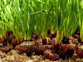 Growing green onion in hothouse — Stock Photo