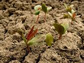 Tatarian maple seedlings — Stock Photo