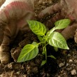 Planting pepper seedlings — Stock Photo #45692895