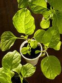 Eggplant seedlings — Stock Photo