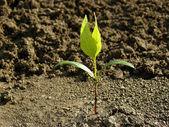 Ash-tree seedling — Stock Photo