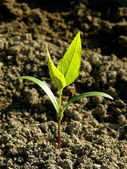 Ash-tree seedling — Stock Photo