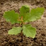 English oak tree sapling — Stock Photo #47604531