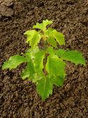 Ash-leaved maple — Stock Photo