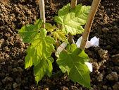 Sugar maple sapling — Stock Photo
