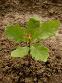 English oak tree sapling — Stock Photo