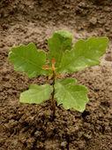 English oak tree sapling — Stock Photo