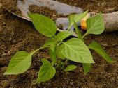 Pepper seedling — Stock Photo