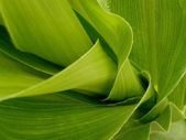 Fragment of corn steam with leaves — Foto de Stock