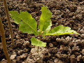 Red oak tree sapling — Stock Photo