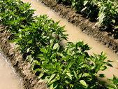 Arid zone gardening — Stock Photo