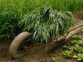 Wheelbarrow full of green grass — Stock Photo