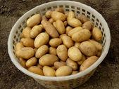 Home grown potatoes — Stock Photo