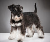 Miniature schnauzer puppy — Стоковое фото